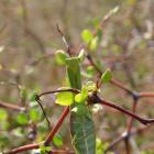 Praying Mantis are found in the shrub. Photo: RNZ/supplied