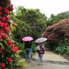 Dunedin's rhododendrons. PHOTO: STEPHEN JAQUIERY