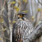 The male New Zealand falcon/karearea on watch at Albert Town end of the Upper Clutha Track. PHOTO...