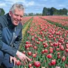 Triflor NZ operational manager Rudi Verplancke inspects the first flowers to bloom on the farm in...