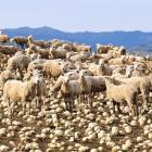 Alliance Group expects to see strong demand and pricing across all species this season. PHOTO:...
