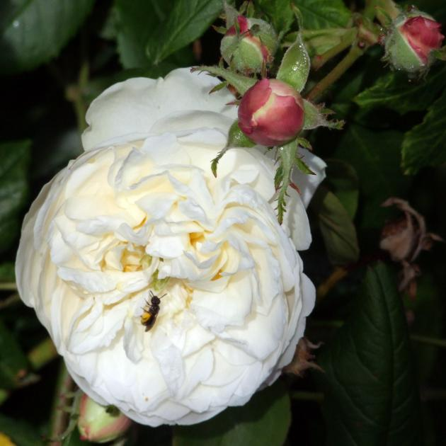 Jacques Plantier named his enduring white rose, bred in 1835, Madame Plantier in honour of his wife.