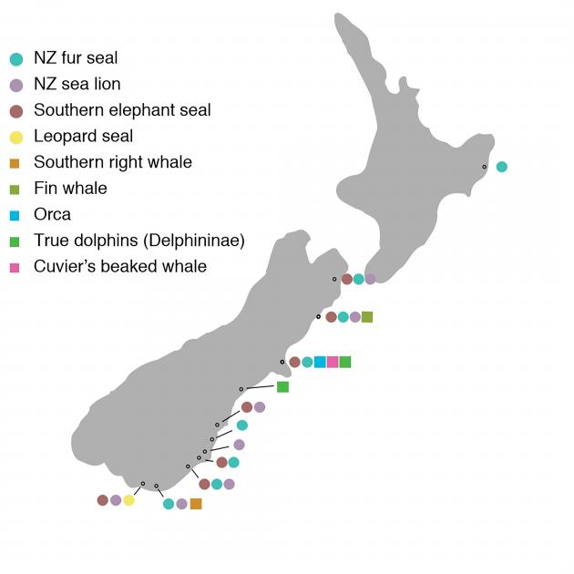 Marine mammals identified from archaeological midden deposits in the study. Graphic: supplied
