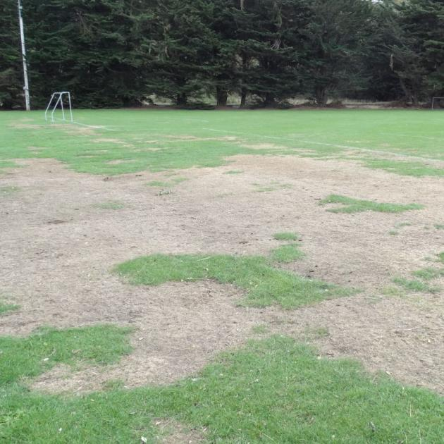The geese graze their way across the playing fields, eating a lot of grass and damaging the surface. Photo by Brenda Harwood.