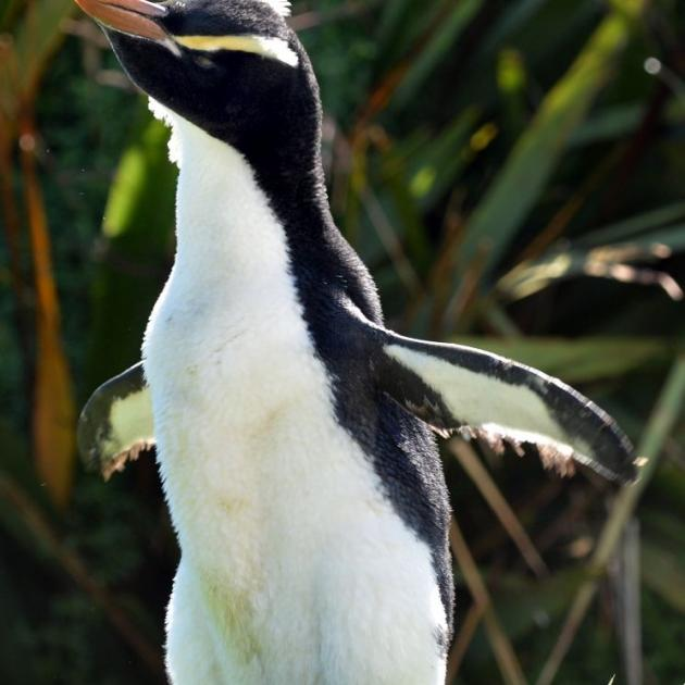 The erect-crested penguin at the Katiki Point penguin hospital at Moeraki. Photo by Peter McIntosh.