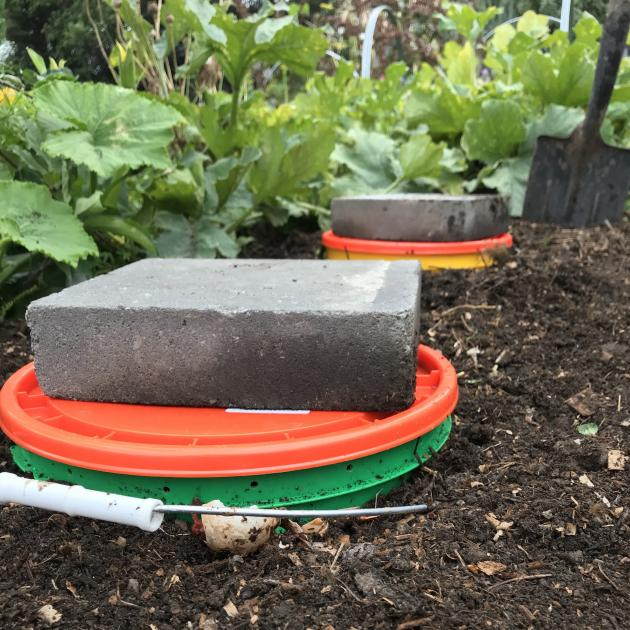In-ground worm farms, dug snugly into the garden bed.  PHOTO: BEN ELMS