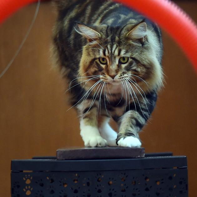 Simara the Maine Coon cat attempts the agility course at the Southern Cross All Breeds Cat Club Championship Show at Green Island Civic Hall yesterday. He was one of about 40 cats in the competition. Photos by Peter McIntosh.