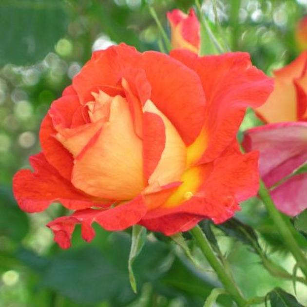Tucked in a corner, the vivid orange rose Lydia looks a picture.