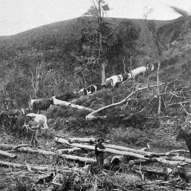 A bullock team hauling kauri timber over hilly ground in Northland. - Otago Witness, 22.11.1916.