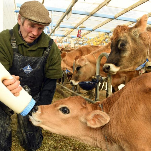 Merrall MacNeille is nearly ready to resume selling milk from his Port Chalmers dairy herd. Photo: Stephen Jaquiery