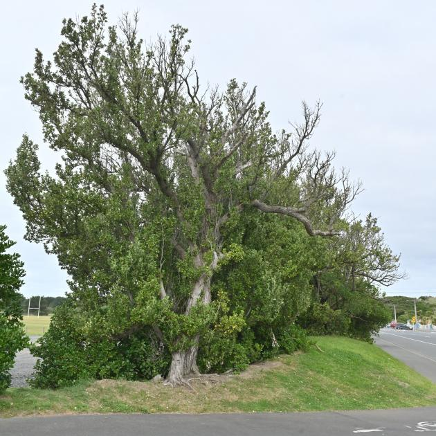 Chatham Island akeake trees are prominent along the roadside boundaries of Hancock Park, near...