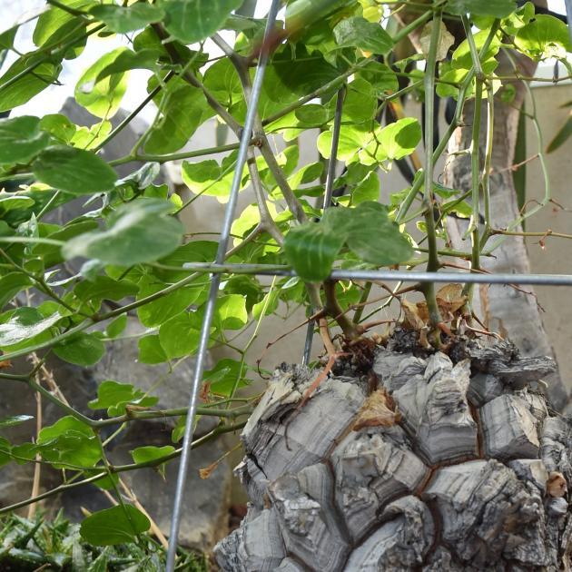 Dioscorea elephantipes. PHOTO: GREGOR RICHARDSON