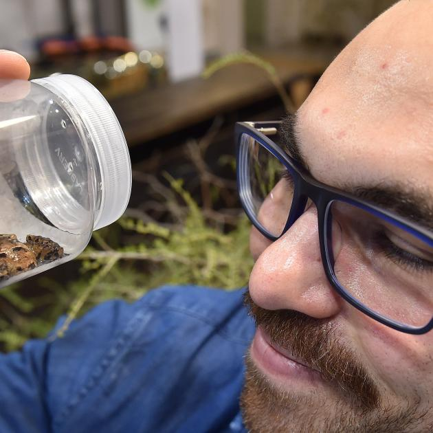 University of Otago zoology PhD candidate Joe Altobelli examines a rare Maude Island frog at a...