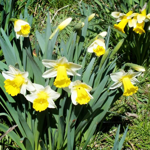 Daffodils whose bulbs lie well underground seem less likely to be damaged by narcissus fly.