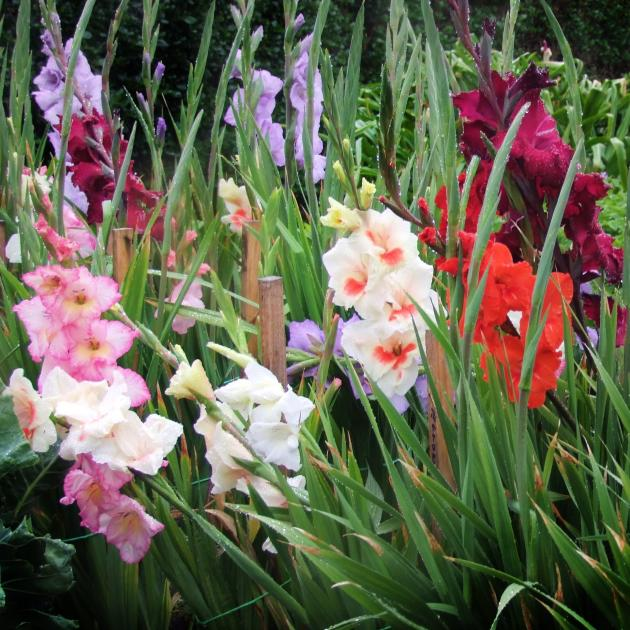 A patch of gladioli in a Dunedin garden. Photo: Gillian Vine