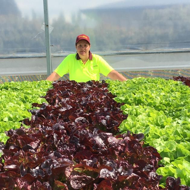 Angela Beazer surveys her hydroponic lettuces. PHOTO: SUPPLIED
