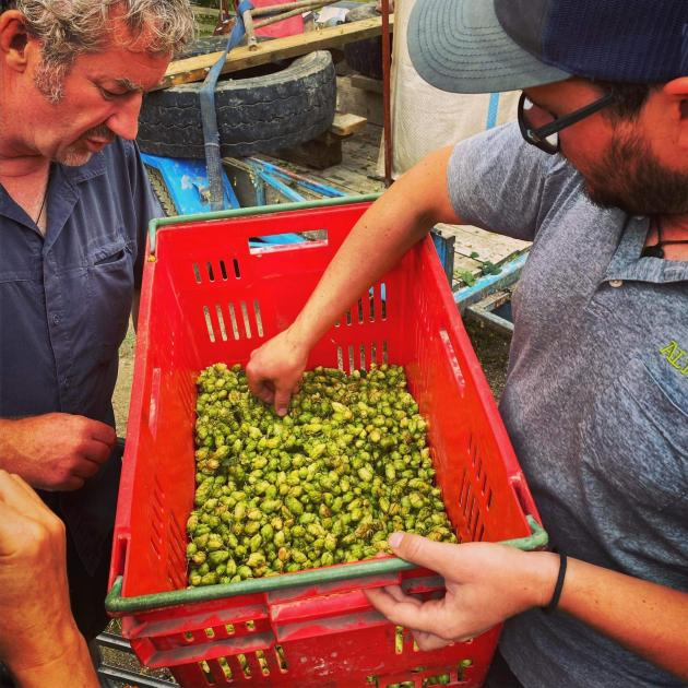 James McNamee (left) and Altitude Brewing head brewer and founder Eliott  Menzies inspect hops...