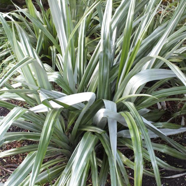 Astelia chathamica Silver Spear is a native for a grey garden.