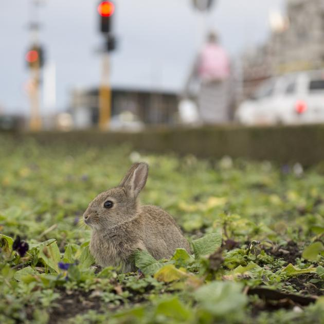 A rabbit brazenly opted for an urban environment in the gardens outside the Dunedin Railway...