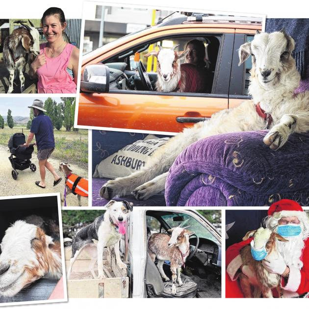 Ralph the goat enjoys many adventures with his owners Alan Harvey and Alice Perry. PHOTOS: ALICE...