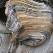 Layers and textures swirl on the bark of an ancient, gnarled bristlecone pine.