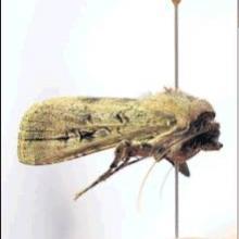 The bogong moth.  PHOTO: GERARD O'BRIEN