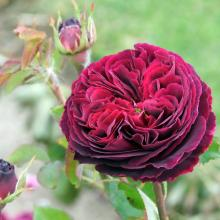 Red roses, in bud or fully open, are the traditional way of saying, ''I love you,'' on February...