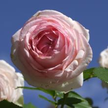 Pink roses denote grace and gentleness.