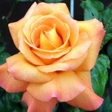 For the passionate, giving an orange rose hints at steamy stuff in store.