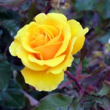 Yellow roses have so many meanings that sending one is a minefield.