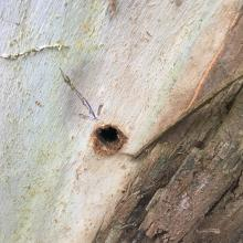 One of the holes drilled into the tree's trunk. PHOTO: HAMISH MACLEAN