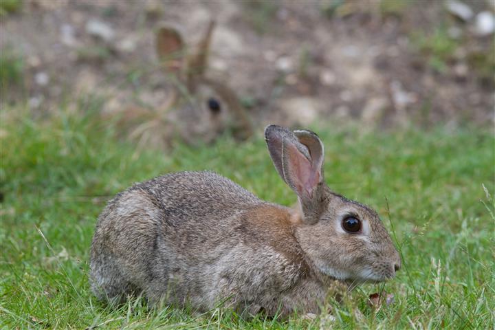 rabbit inhabitance