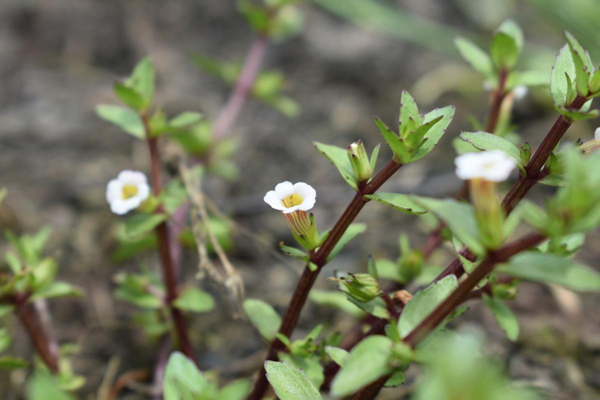 Rare plant found near Waimakariri River