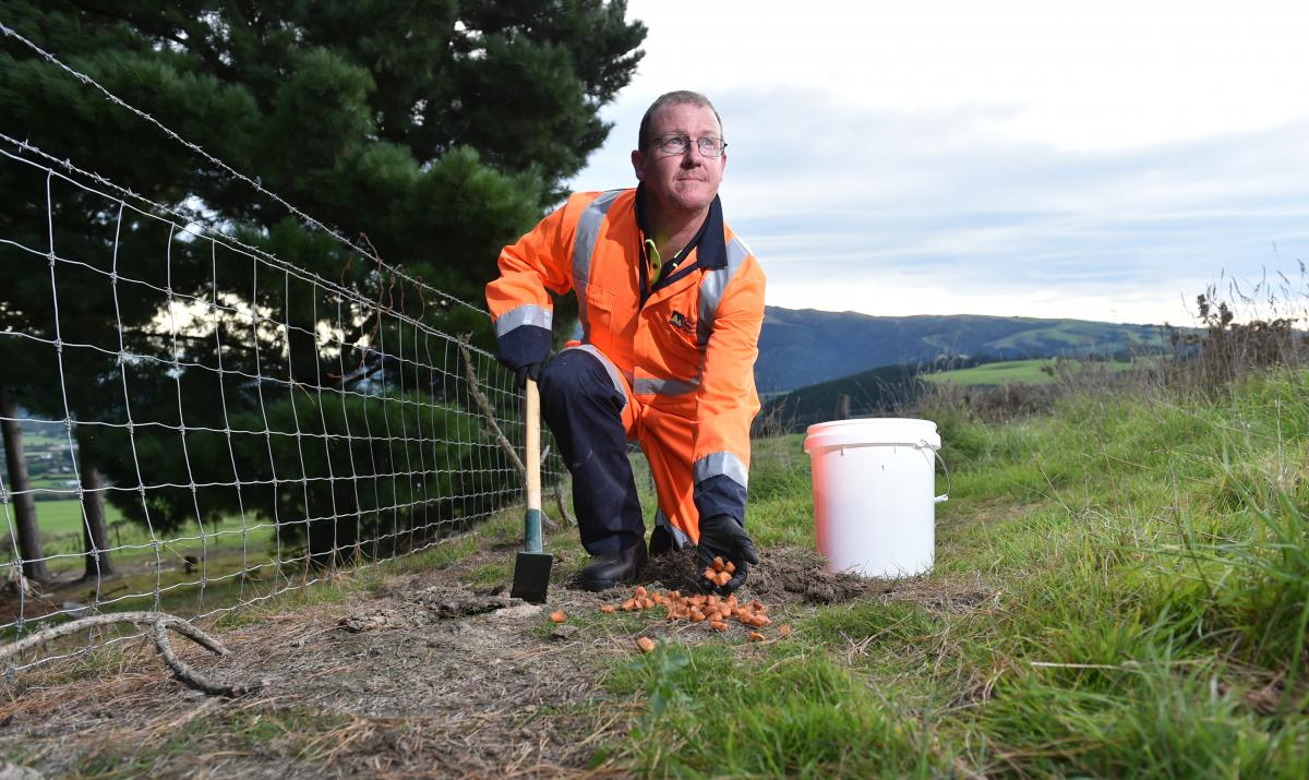 New strain of calicivirus released on the Taieri