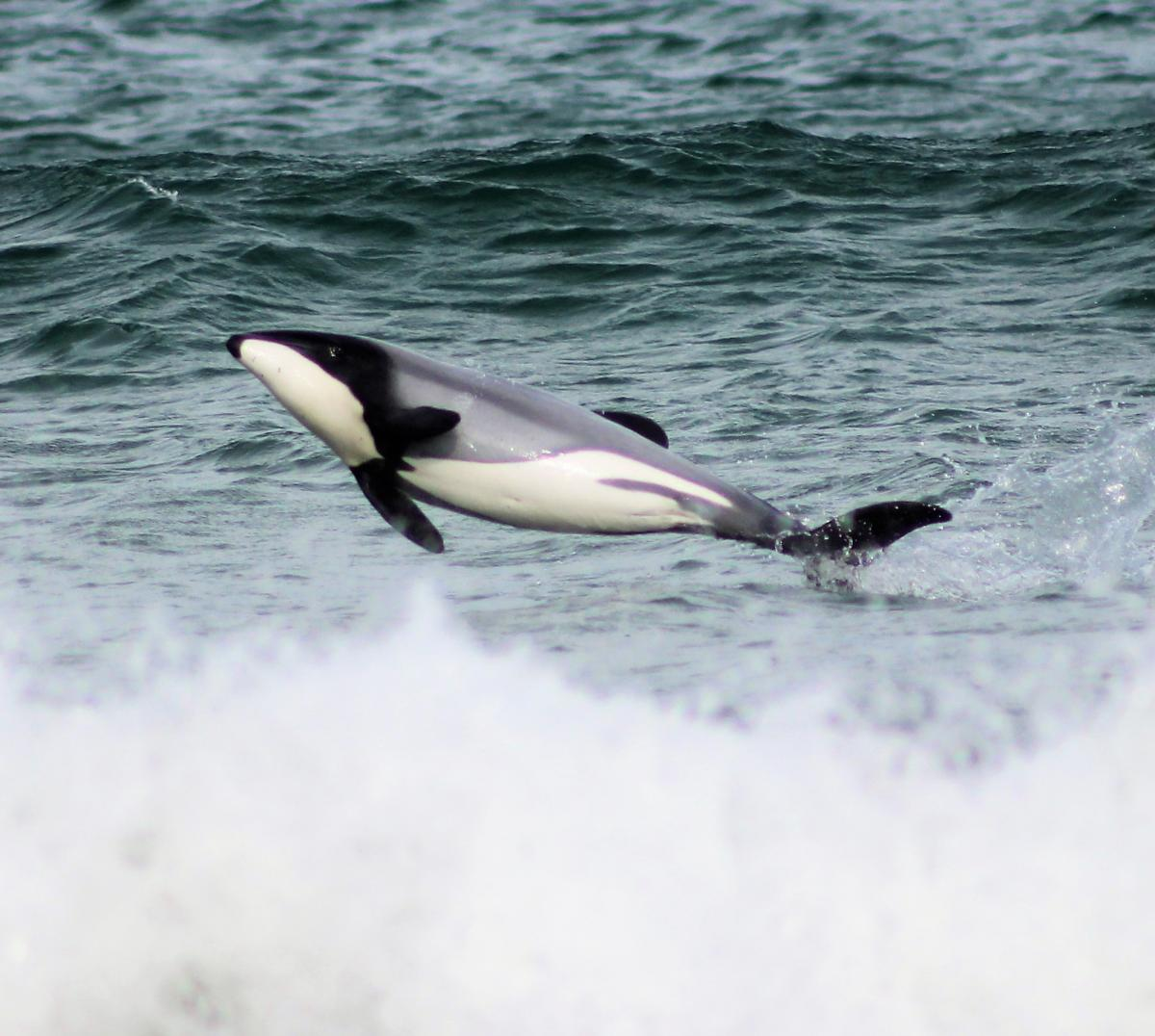 Dolphins out to play in Catlins