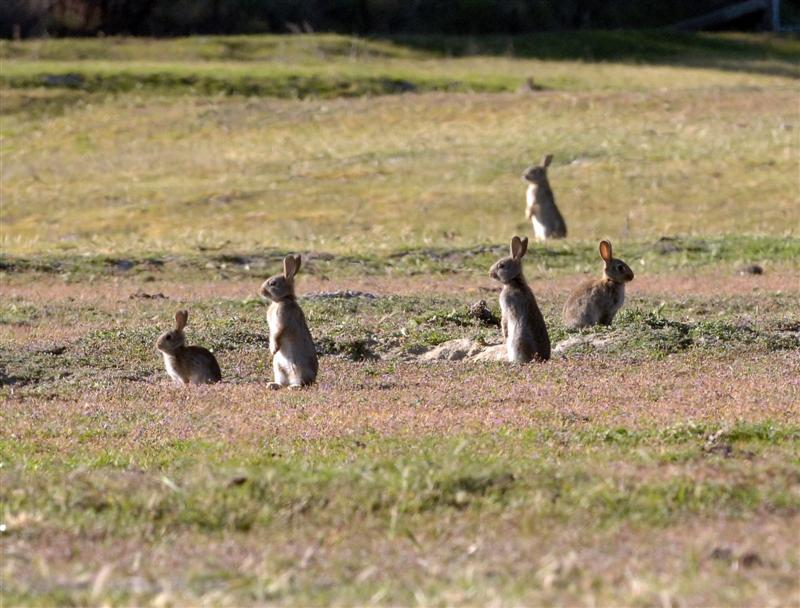 Rabbit virus to be released in Christchurch red zone