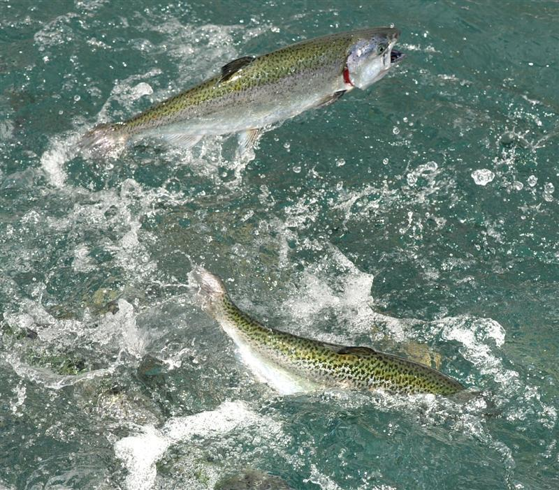 Thousands of escaped salmon lead to Southern bounty