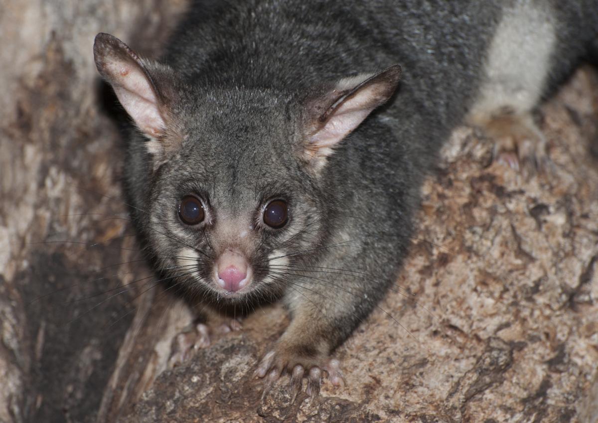 Possum pelts pilfered in break-in