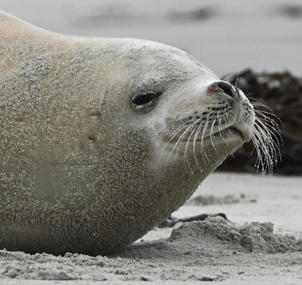 Rare crabeater seal dies