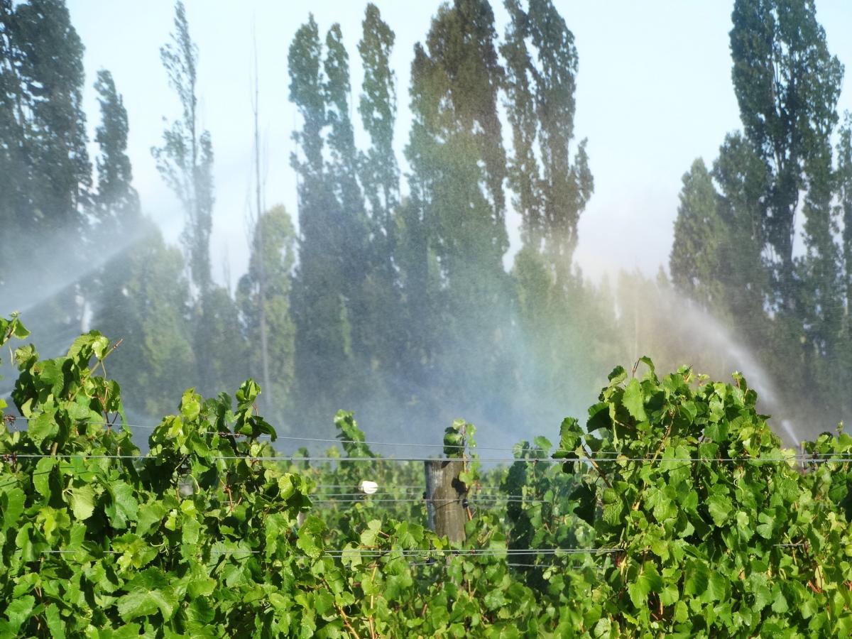 Grapes harvested under strict protocols