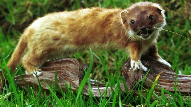 DNA breakthroughs bad news for NZ's stoats and rats