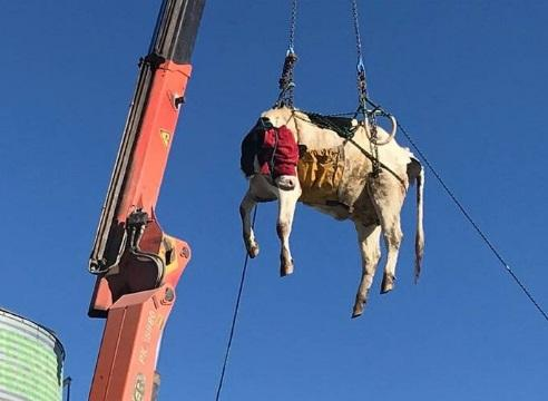 Mooving on up: Cow craned to safety in Canterbury