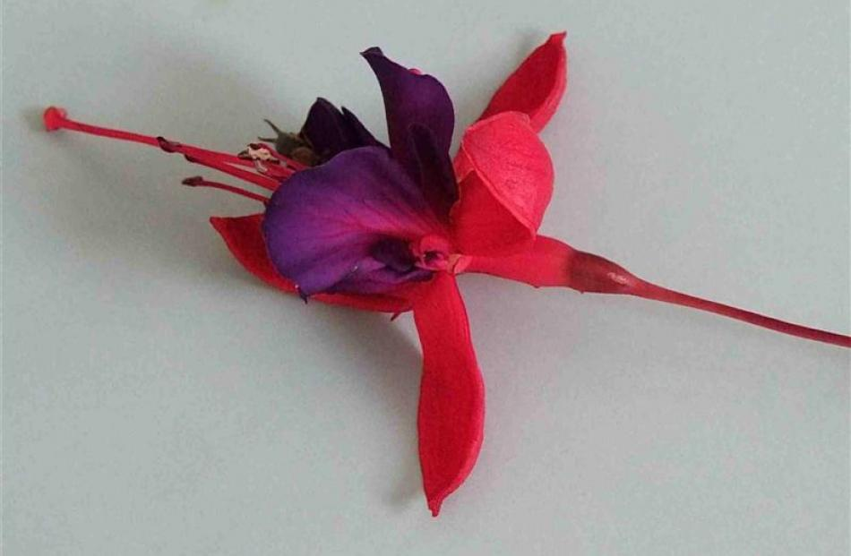 A fuchsia flower has six main parts. The petals (purple in this example) are surrounded and...