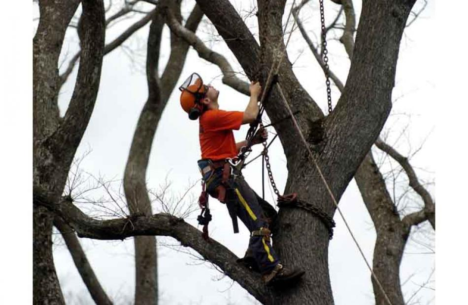 Arborist Cory Walters attaches a chain to the trunk of a diseased elm tree at Queens Gardens in...