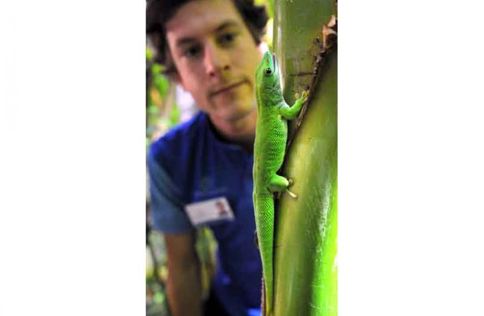 Otago Museum's Scott Kerr looks at a Madagascan gecko after its release at the museum's tropical...