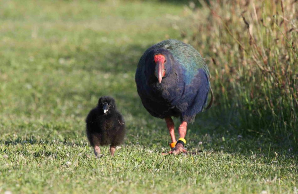 Baby Mohio with his big brother Pukekohe on Tiritiri Matangi in January 2015. Photo: Annette de...
