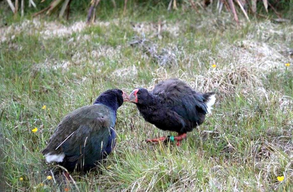 Marokopa and Mohio greet each other with a ''kiss''.  Photo by Eeva-Katri Kumpula.
