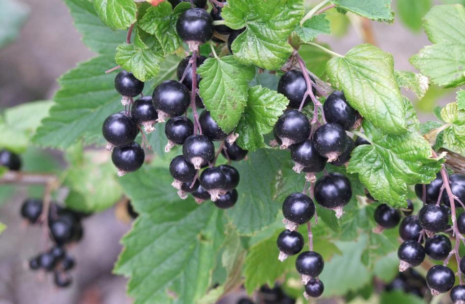 Fruit on bunches (strigs) of modern blackcurrants ripen all at once.