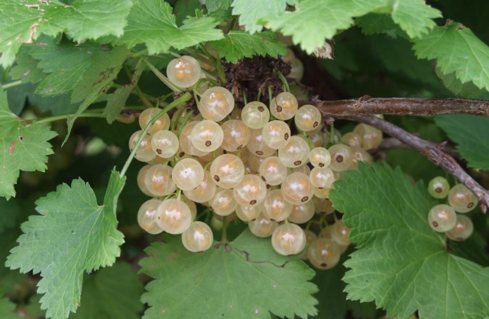 White and red currants fruit on old wood.