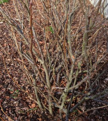 Pruning is needed to create an open bush.